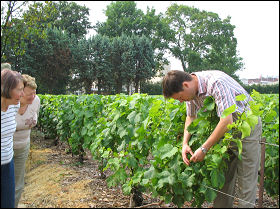 Explanation of grape development in the Krug Champagne vineyard